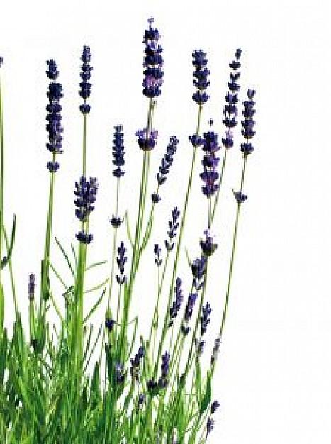 lavender_21045320