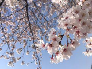 銀座の桜さくら-sakura-開花状況!!